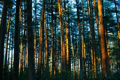 White pine stand [explored] (reclaimednj) Tags: bassrivertownship newjersey unitedstates us optoutside nj 2018 bassriverstateforest forest