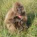 Monkey, Simien mountains, Ethiopia