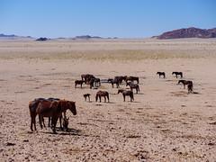 P1107931-LR (carlo) Tags: panasonic g9 dmcg9 africa africanlandscape namibia feralhorses cavalli horses cavalliselvatici
