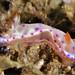 Juvenile Hexabranchus sanguineus (Spanish Dancer), Romblon Island, Philippines