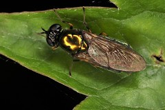 Chloromyia formosa femelle (chug14) Tags: