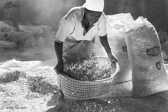 Ginger Harvest (Irene Becker) Tags: africa arewa imagesofnigeria kachia kaduna kadunastate nigeria nigerianimages nigerianphotos northnigeria southernkaduna westafrica ginger gingerroot harvest northernnigeria