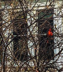 A Lone Cardinal Series (vickieklinkhammer) Tags: bird nest beak tree branch wildlife outdoor winter red cardinal noperson sitting one colorful outdoors light twig large birdnest wood plant standing daylight birdfeeder environment yellow cold nature city sideview flying brown white windows house home porch afternoon feathers feet bramble brush outside branches bush atumn fall leaves bareness alone