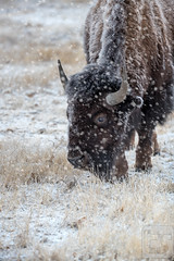 A Winter Reality (Theodore A. Stark) Tags: ifttt 500px 2018 american bison animals buffalo canon denver county gps january rocky mountain arsenal national wildlife refuge snow stark ted theodore a tstarkcom usa americanbison denvercounty rockymountainarsenalnationalwildliferefuge tedstark theodoreastark wintr colorado unitedstates
