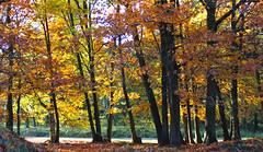 golden light (JH Photos!) Tags: jhphotos canon canon600d germany deutschland duitsland allemagne autumn fall herfst herbst beautiful nordrheinwestfalen trees tree forest wald bos bomen bäume nature natuur natur naturelovers photography