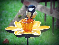 Thirsty  Great Tit (Deida 1) Tags: birdfeeder daffodil greattit bird garden uk staffordshire wildlife