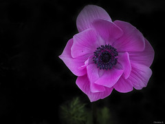 pink  anemone (Christine_S.) Tags: macro olympus japan blackbackground omd nature garden outdoor flower flowers blossom coth5 ngc npc