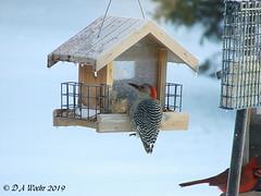 Breakfast at 8 Below Zero (Picsnapper1212) Tags: redbelliedwoodpecker woodpecker cardinal bird animal feeder seed nature snow cold backyard lebanon ohio