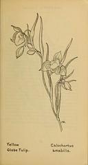 Anglų lietuvių žodynas. Žodis calochortus amabilis reiškia <li>calochortus amabilis</li> lietuviškai.