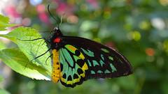 Cairns Birdwing (Ornithoptera euphorion) (Pablo L Ruiz) Tags: butterflyworld butterflies tamron18400mf3563