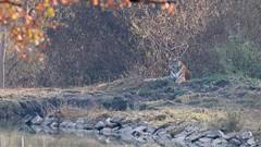 Tigress on a foggy morning (Nagarjun) Tags: nagarholenationalreserve riverkabini tiger tigress bigcat animal wildlife safari