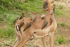 Red-billed Oxpeckers (Buphagus erythrorhynchus) on impala ... (berniedup) Tags: impala aepycerosmelampus taxonomy:binomial=aepycerosmelampus mkhuze kumasinga hide redbilledoxpecker buphaguserythrorhynchus oxpecker taxonomy:binomial=buphaguserythrorhynchus