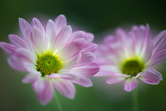 chrysanthemum 8436 (junjiaoyama) Tags: japan flower plant chrysanthemum mum pink winter macro bokeh