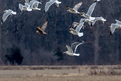 Slaty-backed gull. (ricmcarthur) Tags: essex ontario canada ca larusschistisagus slatybackedgull ricmcarthur rickmcarthur rondeauric