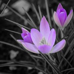 January Crocus (velodenz) Tags: velodenz fujifilmx100f flower winter purple crocus nature 1000 views 1000views