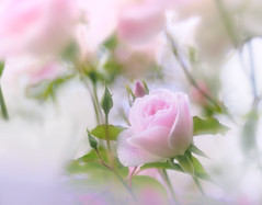 Roses in soft (Tomo M) Tags: rose soft bokeh pink nature garden 横浜イングリッシュガーデン flower petal roseisarose smileonsaturday flora closeup pentacon dreamy pastel