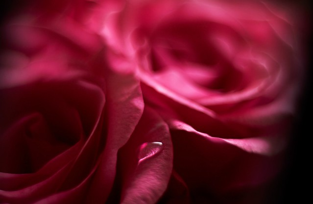 Обои цветок, роза, капля, лепестки картинки на рабочий стол, раздел цветы - скачать