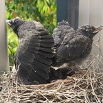 Currawong chicks considering the leap from the nest thumbnail
