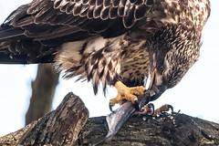 """Scooter the Vicious"" © (Rodolfo Quinio) Tags: americanbaldeagle nikond500 nikonafs500mmf4gedvr nikontc14eii gitzogt3540ls wimberleywh200 conowingodam darlingtonmd harfordcounty susquehannariver shadfish fish raptor birdofprey brunch highkey eagle juvenileeagle nature wildlife 141"