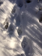 November 13, 2013 - Fresh fox tracks in the snow. (LE Worley)