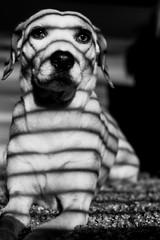 zebra   l  2018 (weddelbrooklyn) Tags: hund hunde schwarzweiss monochrom einfarbig tier tiere tierfotografie portrait portraits streifen gestreift licht schatten lichtundschatten nikon d5200 35mm dog dogs animal animals pets animalphotography stripes striped light shadows lightandshadows