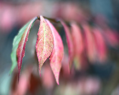 Untitled (Chancy Rendezvous) Tags: chancyrendezvous davelawler blurgasm leaves plant foliage autumn color fall season thanksgiving winter red macro dof depthoffield blur bokeh lawler