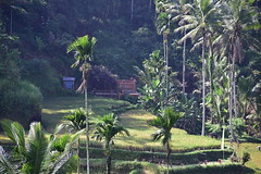 I could not get enough of the beautiful Bali rice terraces (shankar s.) Tags: seasia indonesia java bali islandparadise baliisland touristdestination ubudbali stepformofagriculture lush green emeraldgreen terracedricefields paddyfield ricepaddies ricefield tegallalangriceterraces