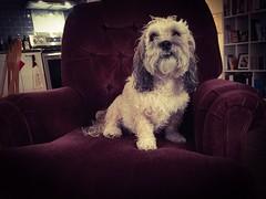 King. Of. The. Castle. #wetdog (PEEJ0E) Tags: boy cute pooch pet mutt rescue king boss chair wet dog bath maltese rusty wetdog