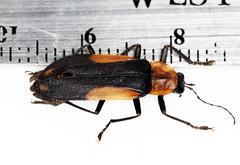 Photurinae2014-3-8csnga_007 (mcclarinj) Tags: photurinae lampyridae cosanga napo ecuador jimmcclarin