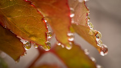 droplets-4 (Mariasme) Tags: droplete macro nature leaves red reflections water shallowdof friendlychallenges