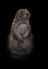 Präriehund (Julius310) Tags: world natur nature zoo amerika zootiere nordamerika säugetiere präriehund tierporträt motiv nikon nikond90 prairie zoofotografie tierpark prairiedog