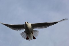 Gull in flight (sootysalters) Tags: amateur 4000d light birdphotgraphy flickr photography photo watermeadpark leicester gull wingspan uk england seagull birdinflight dslr eos4000d canoneos4000d canoneos canon exposure shutter fastshutterspeed flying fly bird