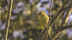 Autumnal greenfinch (- A N D R E W -) Tags: autumn fall light sun nature autumnal branches trees sky greenfinch yellow bird evening