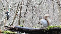Red Squirrel and Middle Spotted Woodpecker (eerokiuru) Tags: redsquirrel sciurusvulgaris eichhörnchen orav middlespottedwoodpecker mittelspecht tammekirjurähn p900 nikoncoolpixp900