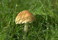 in my mum's garden (chriskatsie) Tags: champignon mushroom vegetal herbe grass water eau goutte drop nature jardin garden rainbow arcenciel mousseron