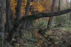 """Little Creek (""""Daniel"""") Tags: creek veluwe landscape beek renkum trees forest woods sigma sd15 foveon"""