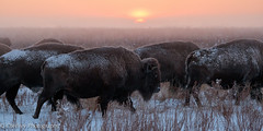 On the Move (OJeffrey Photography) Tags: sunrise bison herd pano panorama colorado co plains snow wintry ojeffrey ojeffreyphotography jeffowens nikon d500