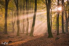 Sunrise in the Forest of the Dancing Trees (Renate van den Boom) Tags: 11november 2018 bos europa gelderland herfst jaar landschap maand natuur nederland renatevandenboom seizoenen speulderbos zon zonsopkomst