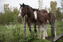 DSC_6250 (Tara MacDonald - www.TheVillagePlate.com) Tags: andrewsangster farm williamstown ontario canada southglengarry horse clydesdale taramacdonald agriculture tourism agritourism photography drafthorse rural country strathburnfarm