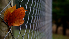 Hold me tight .... (Raquel Borrrero) Tags: leaves leaf autumn fall forest fence plants natur texture metal dof flora otoño valla hojas bosque fallcolors autumncolors trees árbol coloresdeotoño yellow orange amarillo naranja wet rain