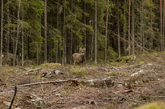 Another deer (PetuPictures) Tags: wildlife finland europe nature naturephotography pentax forest trees green autumn colours animals animal wild