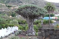 El Drago Milenario [1] (Ian R. Simpson) Tags: eldragomilenario drago dracaenadraco dragontree tree plant icoddelosvinos icod tenerife canaryislands spain