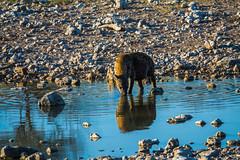 DSC00295 (philliphalper) Tags: namutoni etosha namibia hyena