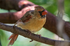 Northern Cardinal (Lynn Tweedie) Tags: wood beak tail northerncardinal canon ngc animal female 7dmarkii missouri bird tree green eye feathers eos sigma150600mmf563dgoshsm