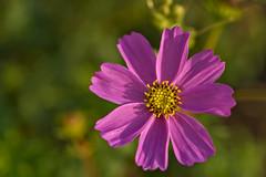 Cosmos (pstenzel71) Tags: blumen natur pflanzen cosmos schmuckkörbchen cosmosbipinnatus darktable flower bokeh