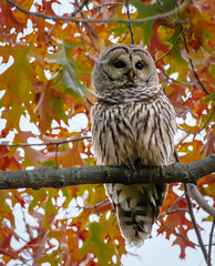 Barred Owl, NY. (stephenwalshphoto) Tags: