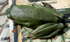 Green frog, about index finger length, our porch (Martin LaBar) Tags: southcarolina pickenscounty frog green amphibian