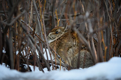 Bunny & Branches (flashfix) Tags: november282018 2018inphotos flashfix flashfixphotography ottawa ontario canada nikond7100 40mm lines branches hare nature animal rodent hiding snow fur twigs