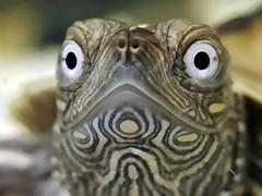 LITTLE TURTLE DEEP LOOK (Pedro Muñoz Sánchez) Tags: tortuga mirada