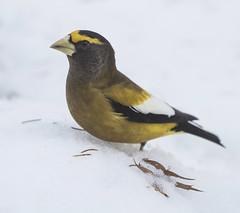 Evening Grosbeak (Mawrter) Tags: eveninggrosbeak evgr grosbeak nj newjersey nature wildlife snow winter bird avian canon specanimal